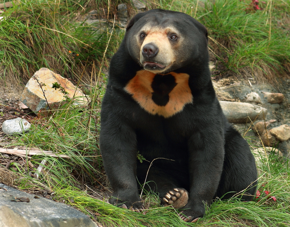 Jamran the sun bear gets a visit from the dentist in Perth