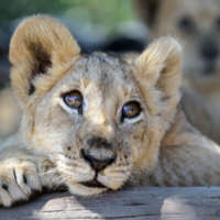 Ilola the lion cub undergoes dental treatment at Werribee Open Range Zoo