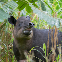 Specialist vet drafted in to cure Toby the tapir's toothache